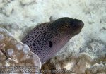 605_Area10-Giant-Moray-Eel_P4103374_.JPG