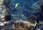 657_11b-White-Collared-Butterflyfish-Moorish-Idols-Filefish_P4103294_.JPG