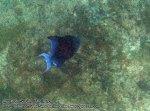 670_11d-Redtooth-Triggerfish_P4103326_.jpg