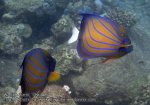 672_11d-Blue-Ringed-Angelfish_P4103330_.JPG