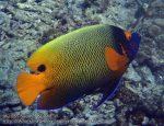 692_11ka-Yellowmask-Angelfish_P4113402.JPG