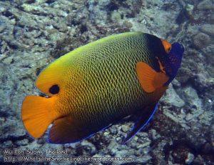 692_11ka-Yellowmask-Angelfish_P4113402.JPG