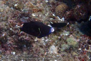 754_15a-Flagtail-Triggerfish_P4154384.JPG