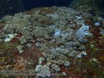 763_15bc-Soft-Coral-XXX_P4154361.JPG