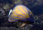 765_15bc-Blue-Ringed-Angelfish_P4154343.JPG