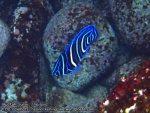 770_15bc-Juvenile-Semicircle-Angelfish_P4154325.JPG