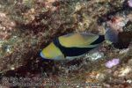 778_15d-Wedgetail-Triggerfish_P4154276.JPG