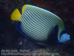 784_15e-Emperor-Angelfish_P4154252.JPG