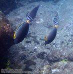 787_15e-Orangespine-Unicornfish_P4154225.JPG