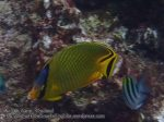 790_15ef-Latticed-Butterflyfish_P4154217.JPG