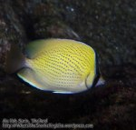 791_15ef-Speckled-Butterflyfish_P4154214.JPG
