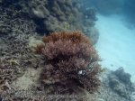 805_15f-Softcoral-MAYBE-Sinularia-species_P4144147.JPG