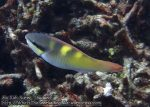 844_20f-Yellowbar-Parrotfish_P4133847_.JPG