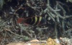845_20f-Parrotfish_Chlorous-bleekeri_P4133875_.JPG