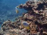 849_20f-Redfin-Butterflyfish_P4133886_.JPG
