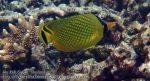 851_20f-Latticed-Butterflyfish_P4133884_.JPG