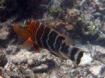 853_20f-Redbreasted-Wrasse_P4133897_.JPG