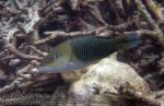 854_20f-Blackedge-Thicklip-Wrasse_P4133878_.JPG