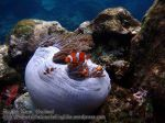 864_20f-False-Clowfish_P4133829_.JPG