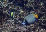 868_20f-Emperor-Angelfish_P4133806_.JPG
