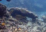 872_20f-Lined-Surgeonfish_P4133891_.JPG