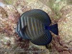 874_20f-Indian-Sailfin-Tang_P4133873_.JPG