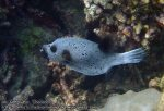 877_20gh-Blackspotted-Pufferfish_P4133921_.JPG