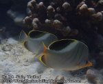 902_32-Saddled-Butterflyfish-_P4051818_.JPG