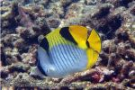 938_38-Saddleback-Butterflyfish_P4051780_.JPG
