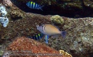 967_50d-Scythe-Triggerfish_P4062033_.JPG