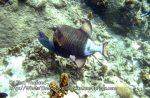 Thai_Tao_0187_c-Titan-Triggerfish_P5073325.JPG