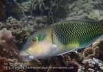Thai_Tao_0219_c-Blackedge-Thicklip-Wrasse_P5073262.JPG