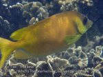 Thai_Tao_0223_c-Coral-Rabbitfish_P5073274.JPG