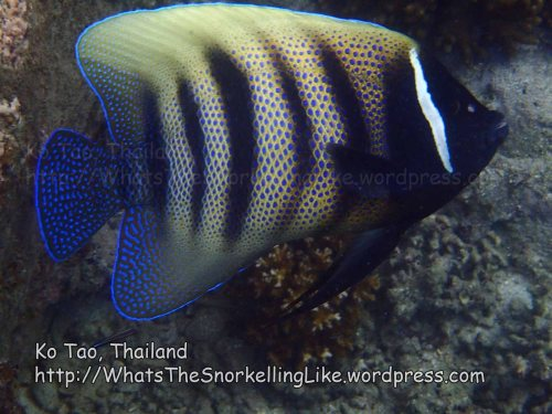 Thai_Tao_0278_cd-Six-Banded-Angelfish_P5073191.JPG