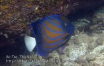 Thai_Tao_0280_cd-Blue-Ringed-Angelfish_P5073185.JPG