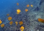 Thai_Tao_0503_h-Blackcap-Butterflyfish_P5063063.JPG