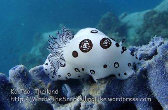 Thai_Tao_1077_v-Dotted nudibranch-Jorunna funebris_P5083628.JPG