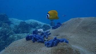 Thai_Tao_1079_v-Blackcap-Butterflyfish_P5083634.JPG