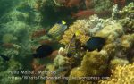 Malay_MalbulTEMP_28-Regal-Angelfish_P6180400.JPG