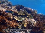 Malay_Perhentian-Env_216_Area-B_Corals_P8102505.JPG