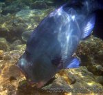 Malay_Perhentian-Env_233_Area-B_Bumphead-Parrotfish_P8102515_.jpg