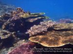 Malay_Perhentian-Env_309_Area-C_Corals_P8102562.JPG
