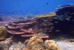 Malay_Perhentian-Env_312_Area-C_Corals_P8102568.JPG