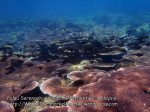 Malay_Perhentian-Env_314_Area-C_Corals_P8102571.JPG