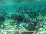 Malay_SipadanTEMP_13-Bumphead-Parrotfish_PICT0170.JPG