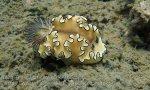 zTemp_Thai_Ang-Thong_16_Glossodoris-atromarginata_P5031973.JPG