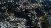 199_Wanci-07e_Coral-Oriental-Sweetlips_P8210078_P1010092.jpg