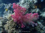 473_Hoga-02a_Scleronephthya-species-soft-coral_P8150064_P1018596.jpg