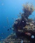 490_Hoga-02b_Trumpetfish_P8150102_P1018634.jpg