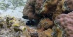 513_Hoga-03_Keyhole-Angelfish-and-Wirenet-filefish_P8150123_P1018528.jpg